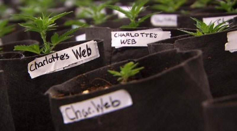 The Stanley brothers of Colorado have  partnered with the for-profit company Ray of Hope 4 Florida to apply for one of the state's nursery licenses. They hope to grow Charlotte's Web there.