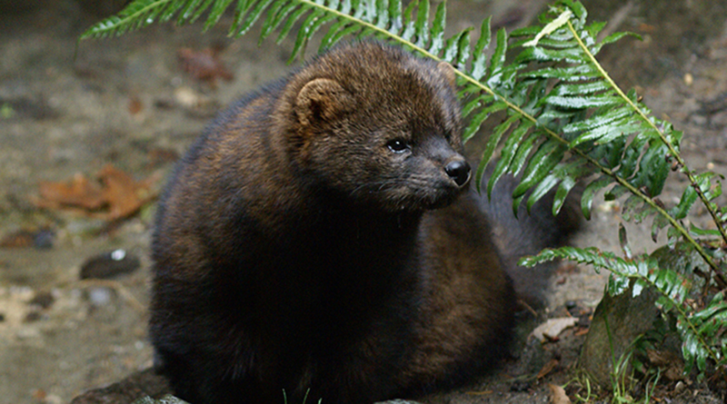The Pacific Fisher is a medium-size mammal native to North America. (Photo courtesy of the U.S. Fish and Wildlife Service/via flickr)